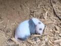 В Китае впервые в дикой природе нашли детеныша панды