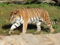 По улицам российского города разгуливал амурский тигр