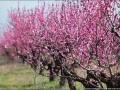 Персиковая бездна: В Крыму зацвели сады (ФОТО)