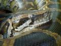 В США на конкурсе по ловле питонов перепутали победителей
