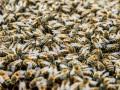Почему гибнут украинские пчелы?