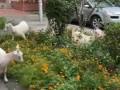 В Киеве сняли на видео, как овцы с козами опустошают клумбы