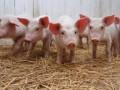 Под Киевом на обочину выбросили зараженную африканской чумой свинью