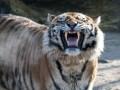 В зоопарке Барнаула тигр покусал 13-летнюю девочку