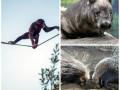 Животные недели: грустный именинник вомбат, шимпанзе-акробат и дикобразы-сыщики