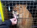 Украинские львы улетели в Африку
