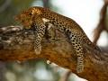 Животные недели: сонный леопард и собака-контрабас