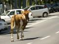 Во Львовской области грузовой поезд опоздал почти на полчаса из-за стада коров