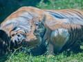 В харьковском экопарке родились амурские тигрята