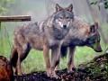 Животные недели: Английские волки и израильская собака