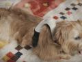 Японцы создали одежду для собак, которая показывает настроение животного