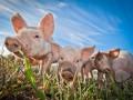 Запретили свиней: Россия расширила санкции против Украины и Запада