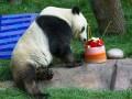 Животные недели: панда-именинник и поцелуи косуль