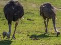 Окупится быстро: Сколько стоит запустить страусиный бизнес в Украине