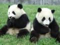 В Китае туристы больше не будут фотографироваться с пандами