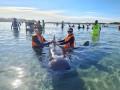 В Новой Зеландии на берег выбросились 49 черных дельфинов