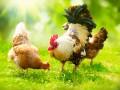 Украина попала в ТОП-3 экспортеров курятины в ЕС