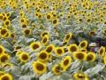 Украинский агрогигант понес убытки от плохого урожая подсолнечника