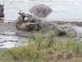 В ЮАР гиппопотамы спасли антилопу от крокодилов