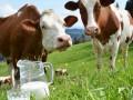 Коровы в Украине могут попасть в Красную книгу