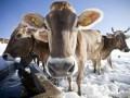 В Якутии из-за сильных морозов коровам надели лифчики