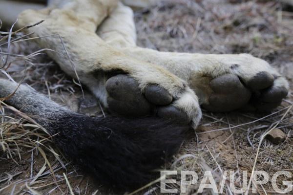 ВСаратовской области подростка покусал лев, которого выгуливала здешняя жительница