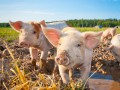Экспорт свинины из Украины сократился в 20 раз