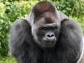 Впервые в мире: в американском зоопарке гориллы заразились COVID-19
