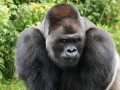 В Африке обезьян закрыли на карантин из-за COVID-19