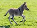 В Великобритании родился гибрид зебры и осла