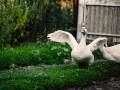 В США стайка гусей погналась за аллигатором