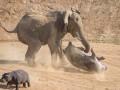 Битва толстокожих: Слон напал на бегемота (ФОТО)