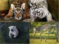 Животные недели: Полярный медведь, шипящие тигрята и зебренок-попрыгун