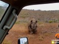 В ЮАР носорог напал на машину