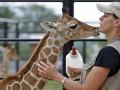 Забавные животные недели: поцелуй жирафа и тигр-монах