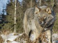 В Черниговской области волчица напала на людей