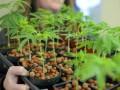 В Чехии аптеки начнут продавать марихуану по рецептам