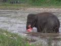 Слониха бросилась спасать тонущего человека