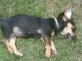 В Дарницком районе живодер выбросил щенка из окна