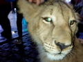 В Харькове домашний львенок пришел посмотреть на праздничную елку