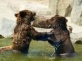 Животные недели: киевские медвежата и  новорожденные панды
