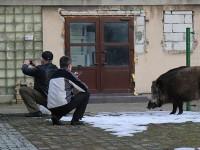 В польском Свиноуйсьце набирает популярность селфи с кабанами