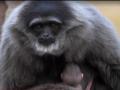 Редкий серебристый гиббон родился в зоопарке Великобритании