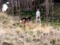 В Австралии кенгуру сошелся в поединке с овчаркой