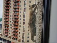 Карабкающийся на небоскреб енот стал героем соцсетей