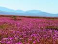 Чудо природы: чилийская пустыня покрылась цветами после дождя