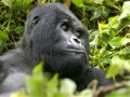 В австралийском зоопарке горилла-патриарх ушел на пенсию, уступив свой пост более молодому самцу