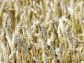 Ирак увеличит импорт зерна до рекордного уровня