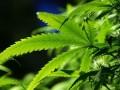 В аптеках Польши начали продавать марихуану по рецептам