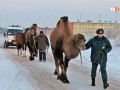 В России верблюд насмерть затоптал пьяного мужчину